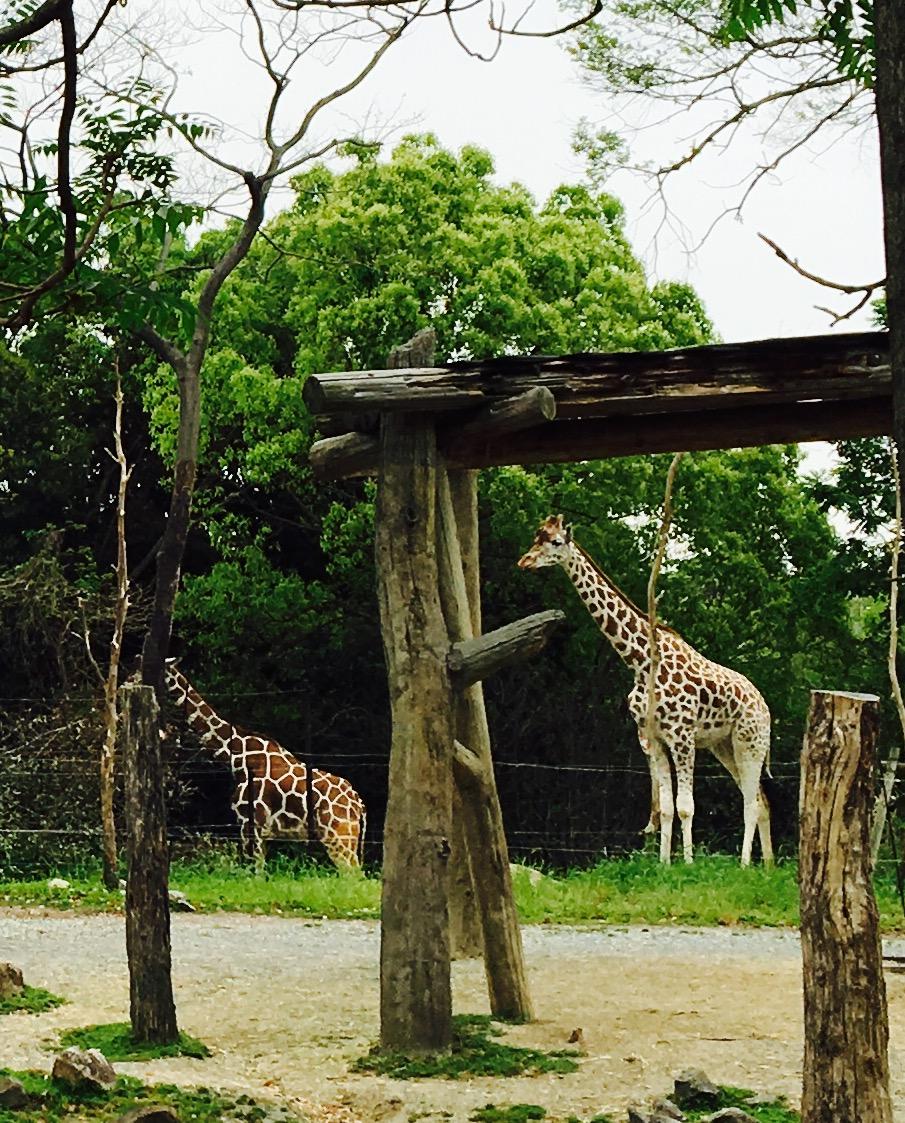 天王寺動物園のコスパにはトラさんの頭が上がりません。